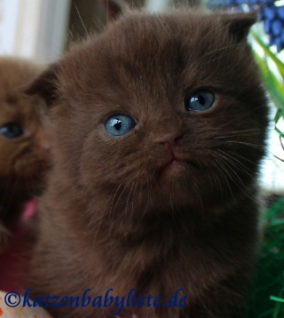 Scottish Fold chocolate
