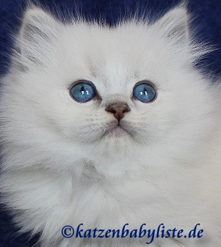 Britisch Langhaar blue golden tabby point