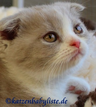 Scottish Fold lilac-white